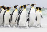 Falkland Islands, South Atlantic. Group of King Penguins on Beach Foto von Martin Zwick