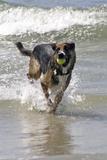 California, Del Mar. Dog Fetching Tennis Ball at Dog Beach del Mar Photographie par Kymri Wilt