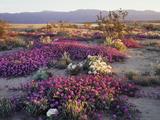 California, Anza Borrego Desert State Park, Desert Wildflowers Foto av Christopher Talbot Frank