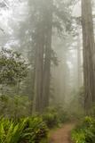 USA, California, Redwoods NP. Trail Through Redwood Trees and Fog Foto av Cathy & Gordon Illg
