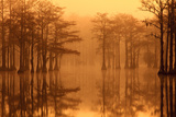 Georgia, Autumn, Cypress Trees in the Fog at George Smith State Park Photo by Joanne Wells
