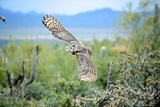 Great Horned Owl in Flight, also known as the Tiger Owl Photographie par Richard Wright