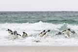 Rockhopper Penguin. Landing as a Group to Give Individuals Safety Foto av Martin Zwick