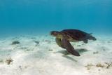 Galapagos Green Sea Turtle Underwater, Galapagos Islands, Ecuador Photo by Pete Oxford
