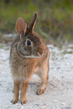 Eastern Cottontail, Kissimmee Preserve SP, Florida Foto af Maresa Pryor
