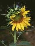 USA, California, a Partially Open Sunflower Foto av Christopher Talbot Frank