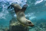Galapagos Sea Lion Underwater, Galapagos, Ecuador Fotografía por Pete Oxford