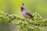 Pyrrhuloxia (Cardinalis Sinuatus) Male Perched Photographie par Larry Ditto