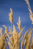 Washington, Walla Walla. Mcnary NWR, Ravenna Grass Valokuva tekijänä Brent Bergherm
