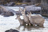 Wyoming, Mule Deer Doe and Fawns Standing in River During Autumn Fotografia por Elizabeth Boehm