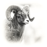 Shoshone NF, Wyoming. Black and White Photo of a Big Horn Sheep Foto von Janet Muir