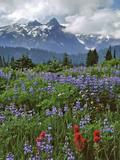 Washington State, Mount Rainier NP. Lupine and Paintbrush in Meadow Foto av Steve Terrill