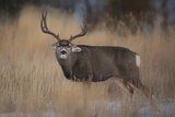 Wapiti, Wyoming. USA. Five Point Mule Deer About to Charge Foto von Janet Muir