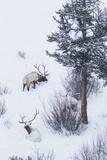 Rocky Mountain Bull Elk During Snowstorm Fotografia por Ken Archer