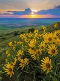 Washington State, Palouse Hills. Landscape with Douglas' Sunflowers Photo by Don Paulson