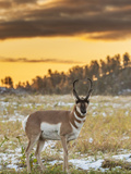 USA, South Dakota, Custer State Park. Pronghorn Antelope at Sunrise Fotografía por Cathy & Gordon Illg
