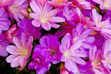 USA, Oregon. Columbian Lewisia Flowers Close-up Foto av Jean Carter