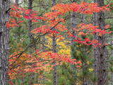 Michigan, Upper Peninsula. Fall Foliage and Pine Trees in the Forest Foto af Julie Eggers