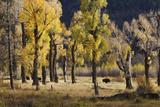 Lamar Valley Bison, Yellowstone Fotografía por Ken Archer
