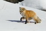 Red Fox in Winter Foto von Ken Archer