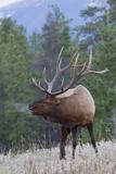Rocky Mountain Bull Elk Foto von Ken Archer