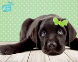 Studio Pets- Lucky Lab Plakater