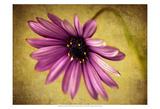 Fuchsia Daisy IV Prints by Honey Malek