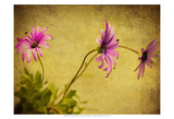 Fuchsia Daisy I Poster by Honey Malek