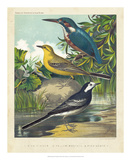 King-fisher & Wagtails Reproduction procédé giclée par  Cassell