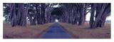 Monterey Cypress Trees, Point Reyes, California Planscher av Richard Berenholtz