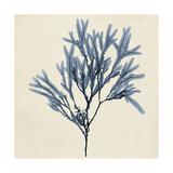 Coastal Seaweed VIII Premium Giclee-trykk av  Vision Studio
