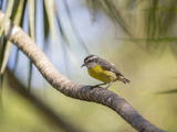 A Bananaquit Bird, Coereba Flaveola, Rests on a Branch in Ubatuba Impressão fotográfica por Alex Saberi