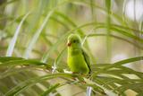 A Plain Parakeet, Brotogeris Tirica, Sits on a Branch in the Atlantic Rainforest, Ubatuba Impressão fotográfica por Alex Saberi
