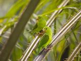 Plain Parakeets, Brotogeris Tirica, Sit on Branches in the Atlantic Rainforest, Ubatuba Impressão fotográfica por Alex Saberi