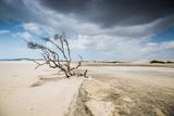 A Dead Tree on the Sand Dune Near the Beach in Jericoacoara, Brazil Impressão fotográfica por Alex Saberi