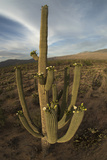 Flowering Saguaro Cactus in the Foothills of the Rincon Mountains, Saguaro National Park Photographic Print by Bill Hatcher