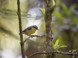 A Bananaquit Bird, Coereba Flaveola, Rests on a Branch in In Ubatuba Impressão fotográfica por Alex Saberi