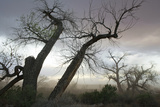 Stately Cottonwood Trees During a Dust Storm at the Superbowl Campground, Utah Reproduction photographique par Scott S. Warren