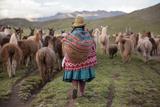 A Quechua Woman Herding Llamas, Alpacas, and Sheep Back to Town from Grazing in the Mountains Lámina fotográfica por Erika Skogg