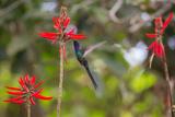 A Swallow-Tailed Hummingbird, Eupetomena Macroura, Mid Flight, Feeding from a Flower Impressão fotográfica por Alex Saberi