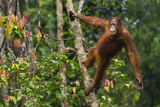 A Bornean Orangutan, Pongo Pygmaeus, Swinging from a Tree Trunk Fotografie-Druck von Ralph Lee Hopkins