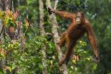 A Bornean Orangutan, Pongo Pygmaeus, Swinging from a Tree Trunk Lámina fotográfica por Ralph Lee Hopkins