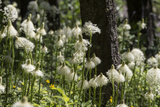 A Huge Bloom of Bear Grass Glows in the Sunshine in the Forest Near Glacier National Park Fotografie-Druck von Ami Vitale