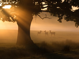 A Group of Red Deer Graze and Socialize in the Early Morning Mists of Richmond Park, London Impressão fotográfica por Alex Saberi