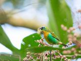 A Colorful Brassy-Breasted Tanager, Tangara Desmaresti, Feeding on a Branch Impressão fotográfica por Alex Saberi