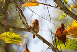 A Least Pygmy-Owl on a Branch in the Atlantic Rainforest, Ubatuba, Brazil Impressão fotográfica por Alex Saberi