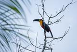 A Red-Breasted Toucan, Ramphastos Dicolorus, Waits in a Tree in Ubatuba, Brazil Impressão fotográfica por Alex Saberi
