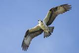 An Osprey, Pandion Haliaetus, in Flight in a Clear Blue Sky Reproduction photographique par Kent Kobersteen