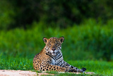 A Portrait of a Wild Jaguar Resting on the Banks of the Cuiaba River, in the Pantanal 写真プリント : スティーブ・ウィンター