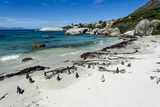 A Nesting Colony of African Penguins on a Beach Near a Towns Residential Estate Fotografisk tryk af Jason Edwards